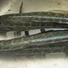 黑鱼养殖技术视频全套资料免费和玉养殖全套资料图片