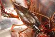 唐山小龍蝦大量供應廠家批發