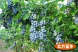 山東當年結果好養藍莓苗三年藍莓苗藍莓苗基地盆栽地栽藍莓誠信交易