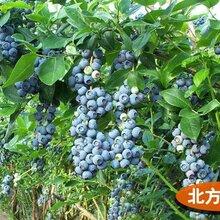 山东当年结果好养蓝莓苗三年蓝莓苗蓝莓苗基地盆栽地栽蓝莓诚信交易图片