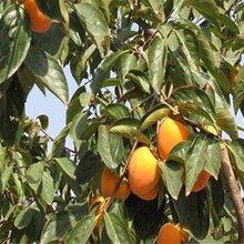 大量磨盘柿子树山东优质柿子苗基地柿子苗价格丰产品种图片