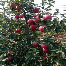 更新:天津维纳斯黄金苹果苗占地经济好培育全国包邮图片