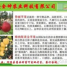 今日:漯河市瑞雪苹果苗基地批发高成活图片