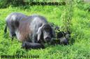 買太湖母豬二花臉梅山母豬橫涇豬就到江蘇德和種豬場圖片