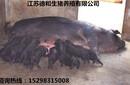 江蘇德和生豬有限公司供應優質新淮豬,淮豬,黑豬里岔黑豬圖片