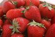 大量供应美国进口草莓浓缩汁