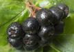 厂家直供进口野樱莓浓缩汁