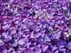 紫葉酢將草種球批發電話