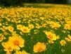多年生花卉金鸡菊种子订购电话