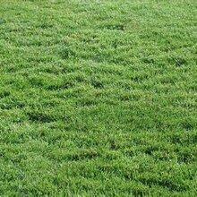 哪种草坪适合夏季种植图片