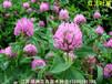 紅花苜蓿紅三葉草是多年生的嗎