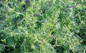 果园绿肥种子苕子种子批发找我