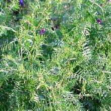 高效绿肥苕子种子成吨发货图片