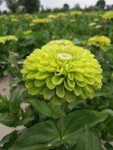 春天百日草種子價格及種植管理圖片