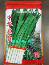 发布中华韭霸韭菜种子销售价格图片