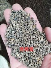 短期作物荞麦种子全国种植图片