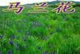 供應馬蘭花種子四季常青