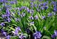花卉種子紫花地丁種子銷售中