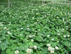 銅川矮生百慕大種子供應電話