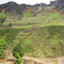 廠家長期供應安徽綠化低價植物草籽種子!圖片