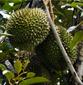 马来西亚榴莲进口清关需要多少时间/青岛专业进口清关代理公司图片