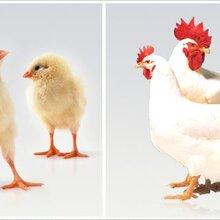 家禽养殖:禽白血病病毒传播途径