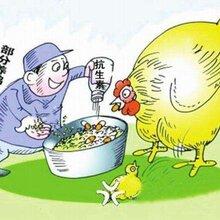 蛋鸡养殖:春季蛋鸡饲养五大注意事项