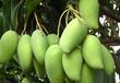 臺灣芒果進口報關,水果進口清關收貨人備案申請表需要哪些資料