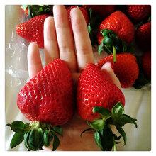 优质脱毒二代草莓苗草莓苗价格多少钱一棵全明星甜查理法兰地奶油草莓苗图片