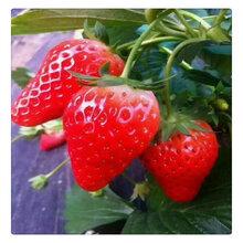山东草莓苗种苗批发基地四季红颜白雪公主桃熏酸甜可口图片
