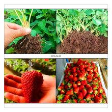 果树种苗种植草莓秧批发优质一代草莓母苗脱毒二代草莓苗品种齐全现挖现卖图片
