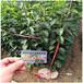 梨樹原生苗的價格梨樹種子批發求購杜梨種子樹苗