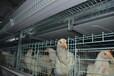 面向山東廠家直銷養雞設備肉雞籠,育雛籠,上料機,清糞機