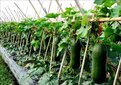 大朗鎮工廠蔬菜配送新鮮衛生快捷送貨上門圖片