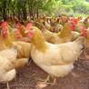 上海静安区哪里能买到土鸡