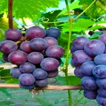 上海葡萄批发商