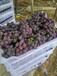 寧波巨峰葡萄批發