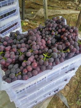 慈溪巨峰葡萄大量接单中真正的好货杭州湾巨峰大棚葡萄