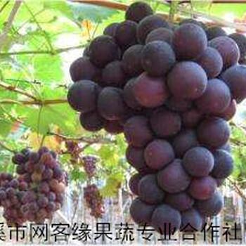 宁波葡萄种植基地