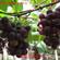 葡萄批发市场