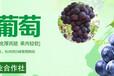 寧波前灣新區巨峰葡萄