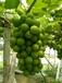 慈溪巨峰葡萄批發市場