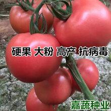 供应越夏大果番茄苗西红柿苗子大粉硬果番茄苗耐热?#20849;?#27602;西红柿苗寿光专业育苗图片