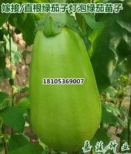 供應綠皮茄子苗燈泡茄綠長茄綠把長茄紫把長茄先鋒線茄線茄子苗花茄子苗面包茄苗圖片