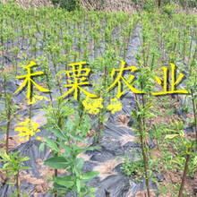重慶南川李子苗供應商__當年掛果李子樹苗基地直銷。圖片