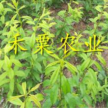 湖南邵陽李子苗哪里有賣__2公分李子樹苗繁育基地。圖片