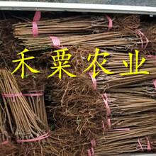 廣西李子苗供應商__特晚熟李子樹苗廠家直銷。圖片