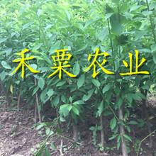 湖南永州李子苗新品種介紹__矮化李子樹苗批發行情。圖片