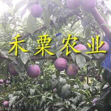 貴州貴陽李子苗銷售__批發李子樹苗李子樹苗種植時間。圖片