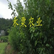 湖南懷化特價李子苗批發__3年李子樹苗價格超低。圖片